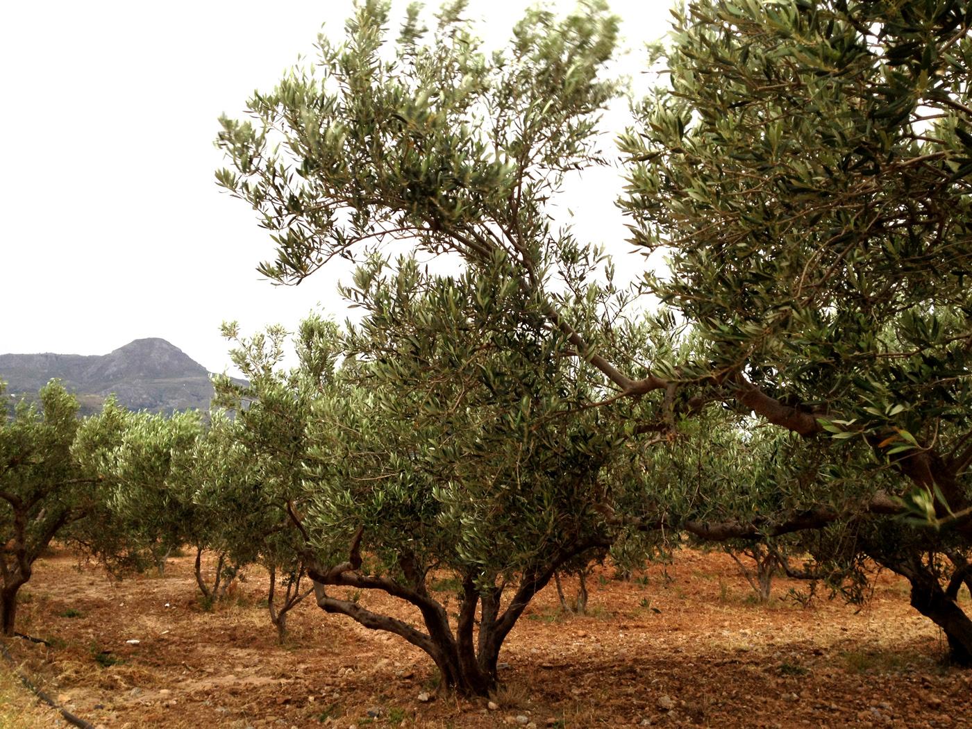 HuileArium.com commence son voyage dans le monde de l'Huile d'olive