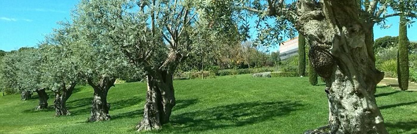 Les Oliviers comme plante de jardin, «Sa majesté»