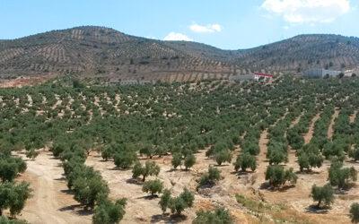 Le marché de l'huile d'olive en Espagne