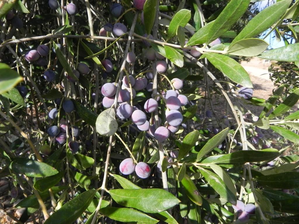 """Montes de Toledo"" Olive Oil"