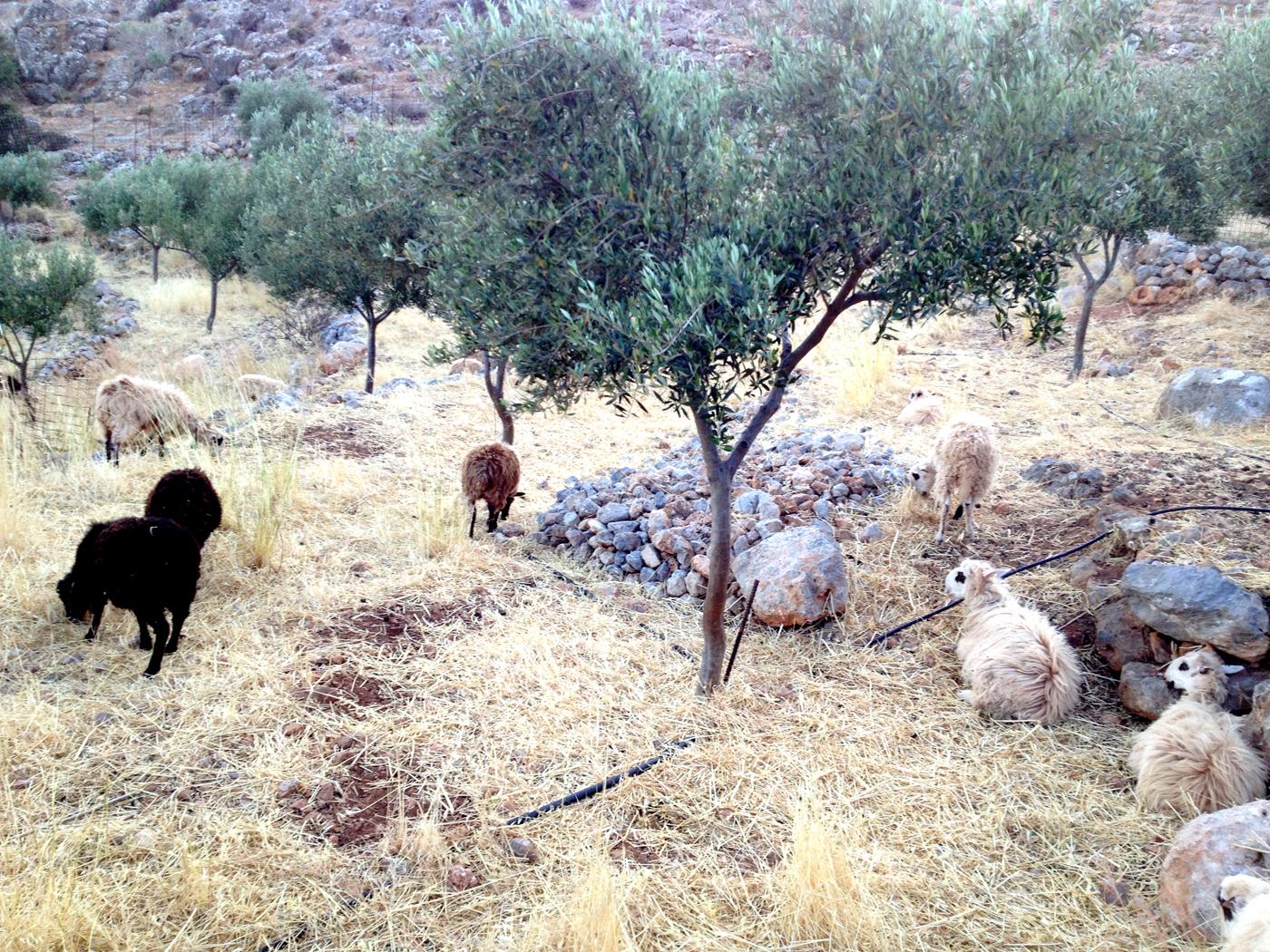 Les oliviers en Grèce