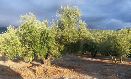 L'olivier : Un arbre à forte symbolique