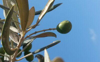 Les différentes variétés de l'huile d'olive
