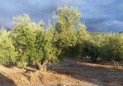 Variétés d'olives en Italie